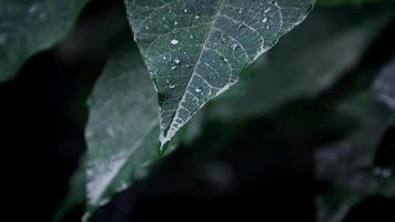 Extreme close up of poinsettia tree leaves with rain drops