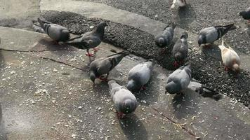 Pigeons on the ground