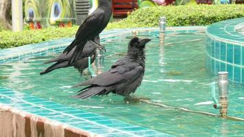 Crows in the Fountain