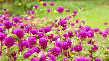 cespuglio di fiori viola in giardino