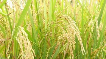 espigas de arroz pela manhã