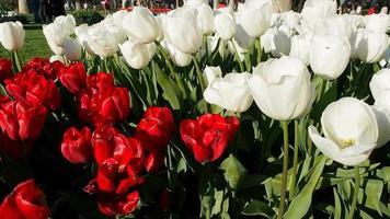 tulipas vermelhas e brancas em um parque video