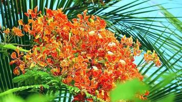 flores rojas de caesalpinia pulcherrima