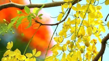 cassia fistula flou jaune arbre flamme rouge video