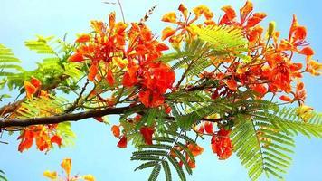 flores rojas de caesalpinia pulcherrima video