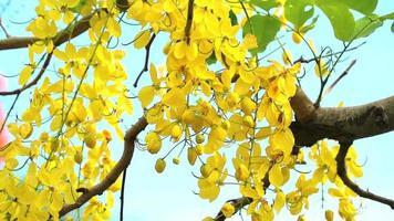 cassia fistula fleurs jaunes