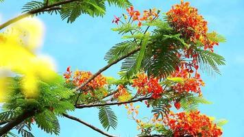 cássia fístula flores fundo de céu azul