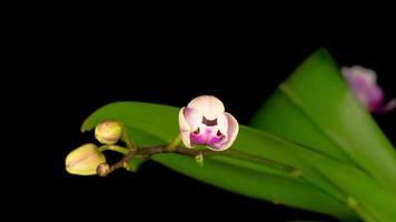 florescendo flores de orquídea branca phalaenopsis video