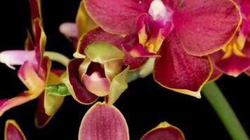 florescendo flores de orquídea vermelha phalaenopsis