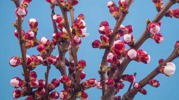 fleurs blanches fleurissent sur les branches d'un cerisier
