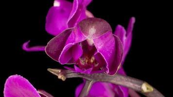 flor roxa florescendo phalaenopsis