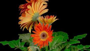 crescendo e abrindo flores de gérbera laranja