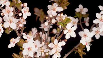 flores brancas desabrochando em uma cerejeira