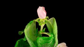 flor rosa desabrochando nos galhos de uma macieira