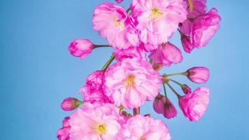 flores de árbol de sakura rosa con un fondo azul
