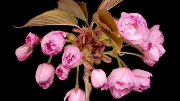 apertura de flores de sakura rosa