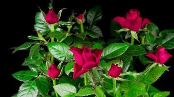 abriendo rosas rojas en un lapso de tiempo
