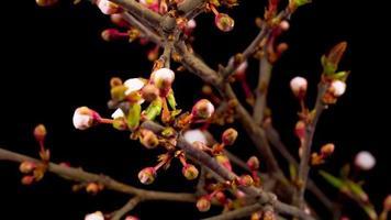 flores blancas floreciendo en las ramas de un cerezo