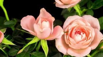 ouverture de fleurs roses