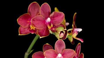 orquídea roja sobre fondo negro