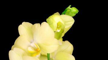 florescendo flores amarelas de orquídea phalaenopsis