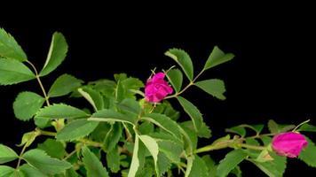 perro-rosa flor que florece en un fondo negro