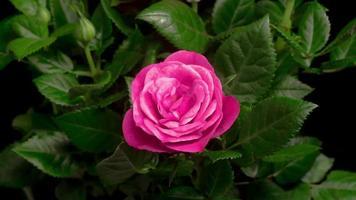 rosas rosadas que se abren en un lapso de tiempo