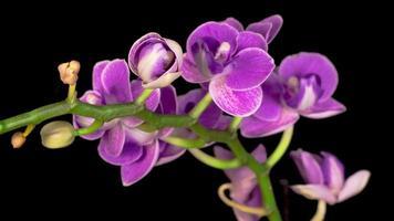 orquídeas roxas florescendo em um fundo preto