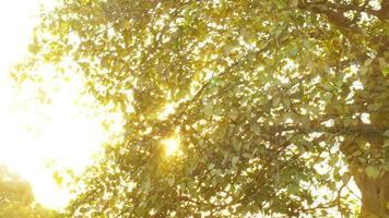 árvore da manhã dourada video