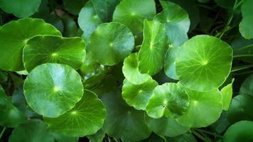 folhas verdes asiáticas balançando com um vento suave