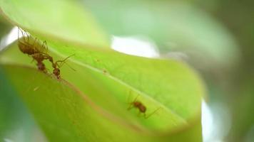 Fourmis rouges travaillant nid de tisserand avec des feuilles vertes sur la nature
