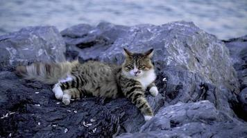 Beautiful Tabby Cat Is Laying Down On Rocks video