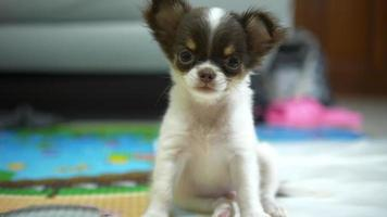 Little chihuahua looking at camera.