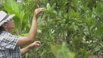 agricultora asiática e um limoeiro orgânico