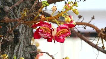 fleur de boulet de canon avec fond de jardin flou video