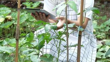 agricultora na fazenda de feijão verde com tablet.