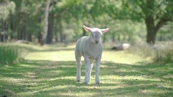 agneau mignon debout dans un champ en regardant la caméra