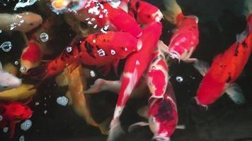 Karpfen schwimmen in einem Teich
