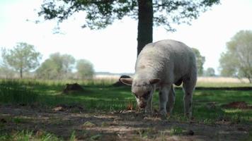 Cute lamb eating grass in beautiful nature