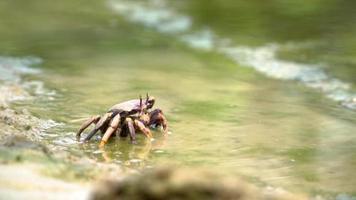 um pequeno caranguejo comendo algas na costa