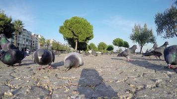 Palomas aves animales alimentándose en el suelo