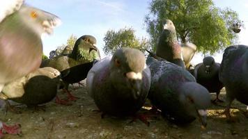 pássaros pombos no chão