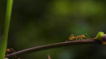 rote Ameisen gehen auf einem Ast