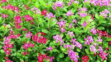 flores rosa e vermelhas madagascar pervinca e folhas verdes