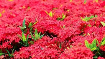flores rojas ixora en plena floración