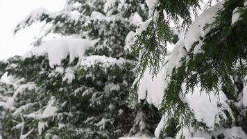 abetos nevados desde una vista de primer plano