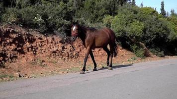 cavalo jovem de cor marrom está andando video