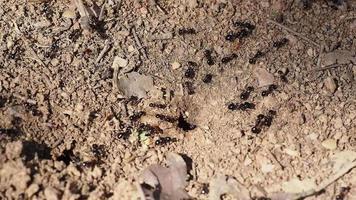 hormigas alrededor de un hormiguero