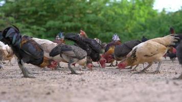 galinhas criadas ao ar livre em uma fazenda.