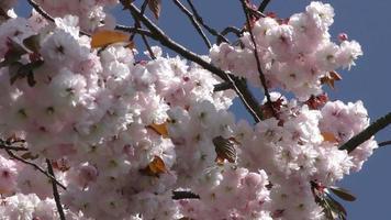 Peach Flowers on a Tree